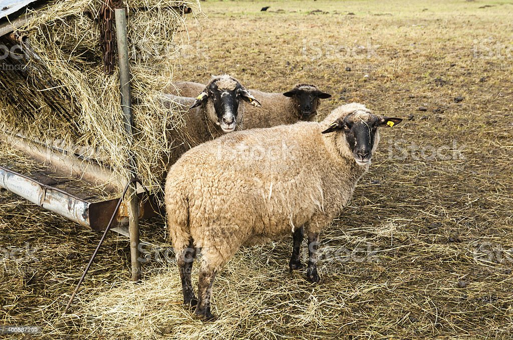 Sheep at a manger, animal husbandry in Germany stock photo