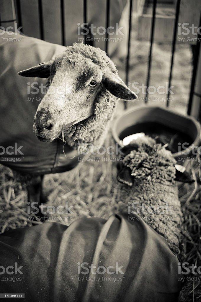 Sheep at County Fair stock photo