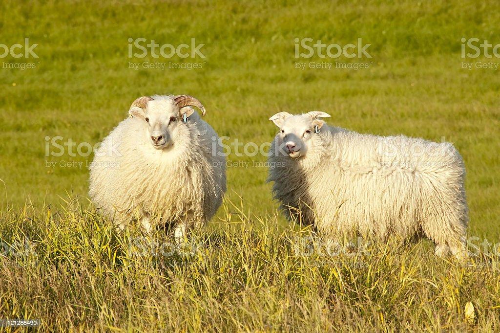 Sheep at dusk stock photo
