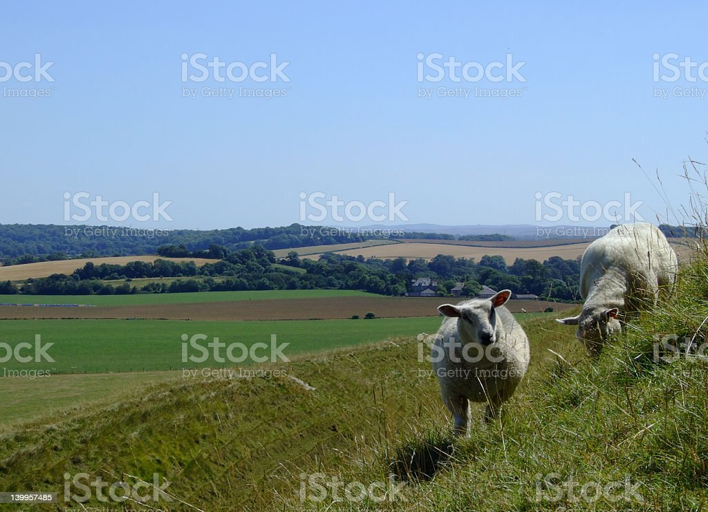 Sheep at Maiden Castle in Dorset County, England stock photo