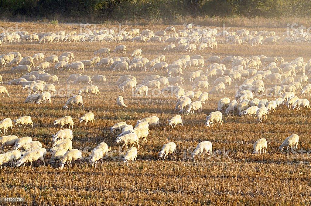 Sheep at sunset royalty-free stock photo