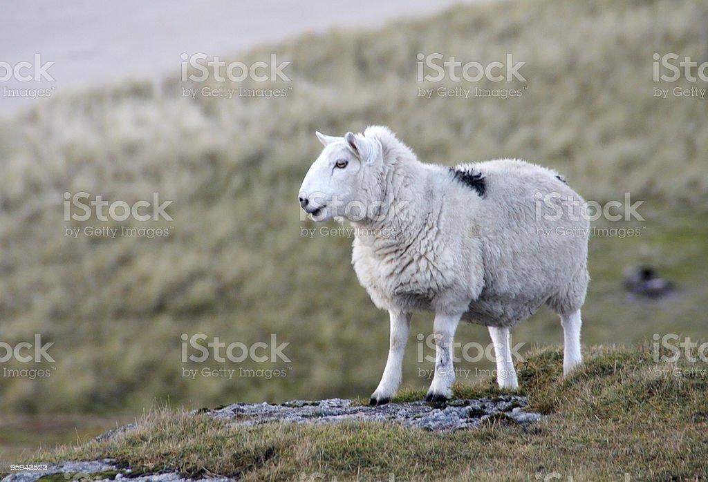 sheep at the coast closeup royalty-free stock photo