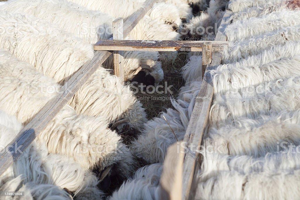 Sheep At The Farm royalty-free stock photo