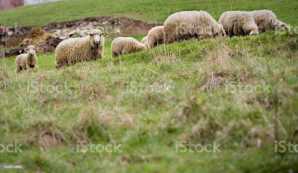Sheep at the meadow stock photo