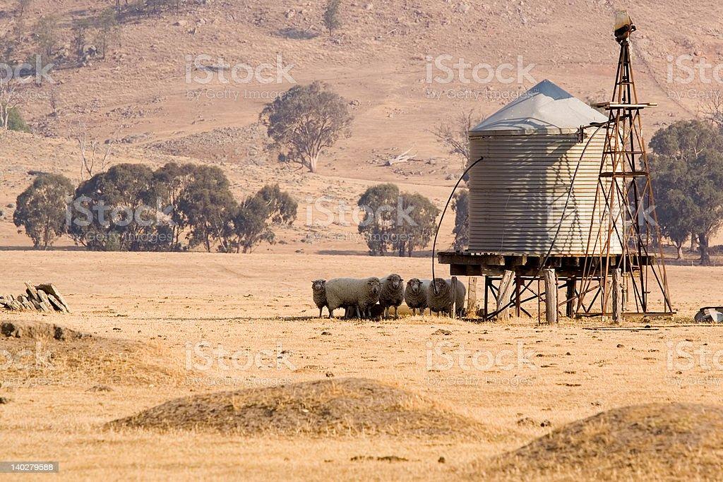 Sheep at the water tank stock photo