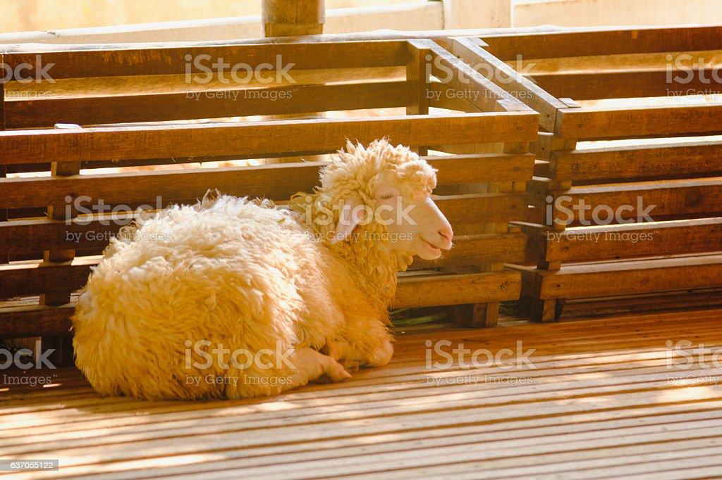 Sheep baby sleeping in FARM. stock photo