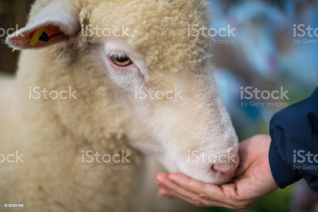 Sheep being hand fed stock photo