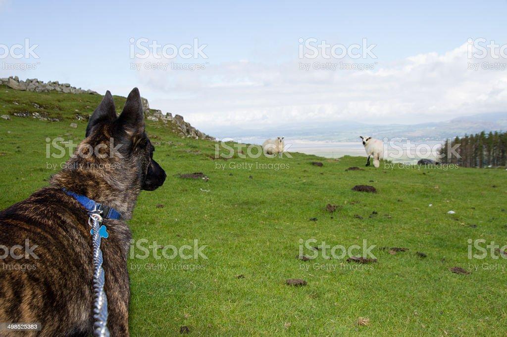 Sheep beware. stock photo