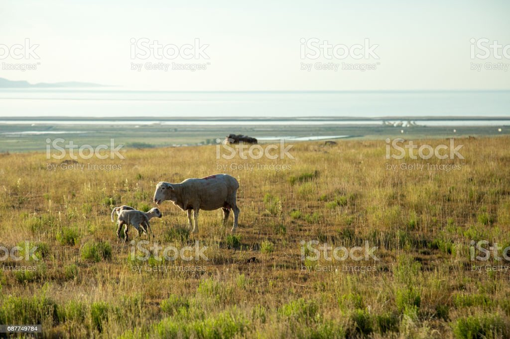 Sheep bleating at two lambs in field above lake stock photo