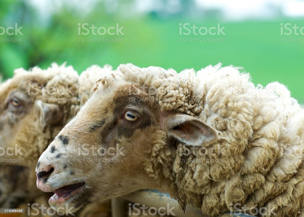 Sheep bleating while looking away in pen stock photo