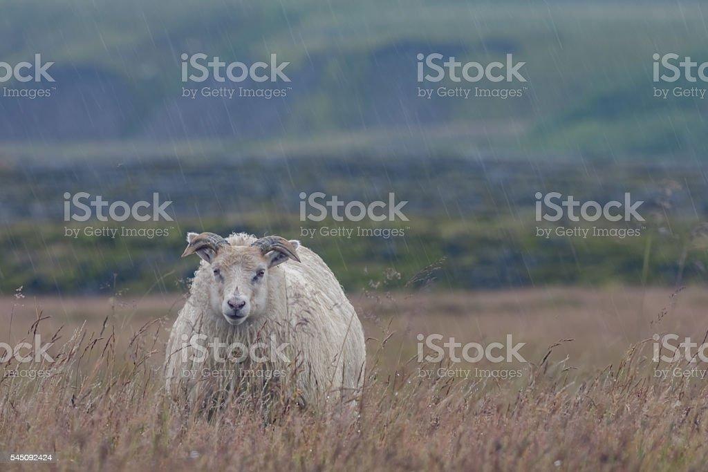 Sheep braves the cold rain near Porsmork, Iceland stock photo