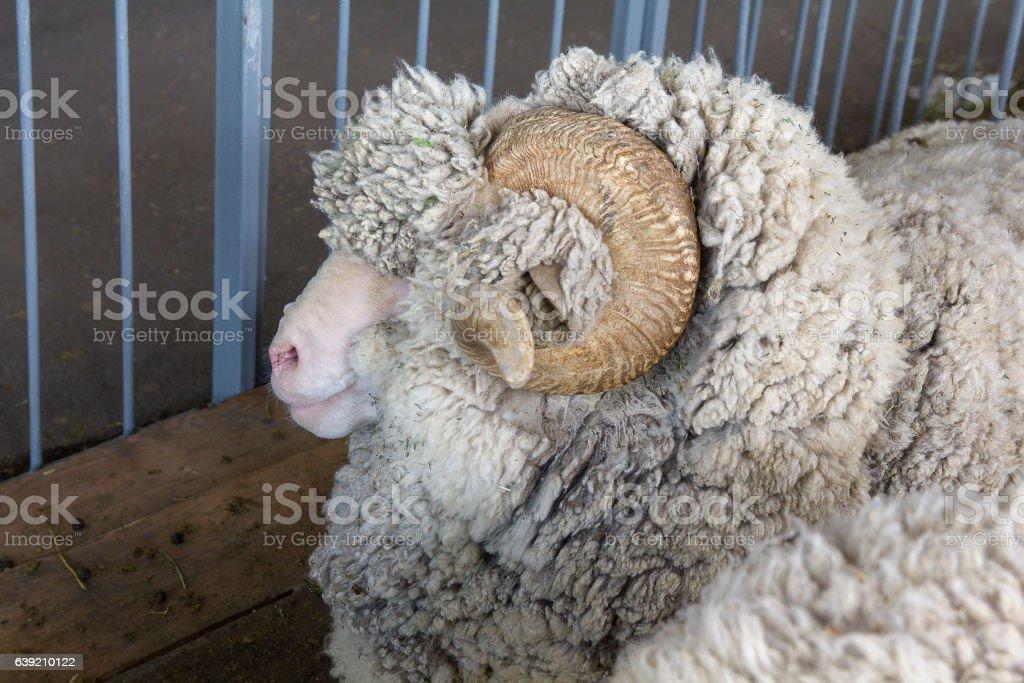 Sheep breed Manych Merino in the paddock. Animals stock photo