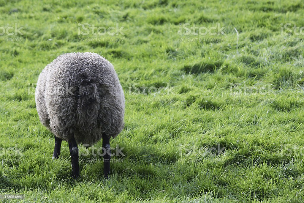 Sheep Butt royalty-free stock photo