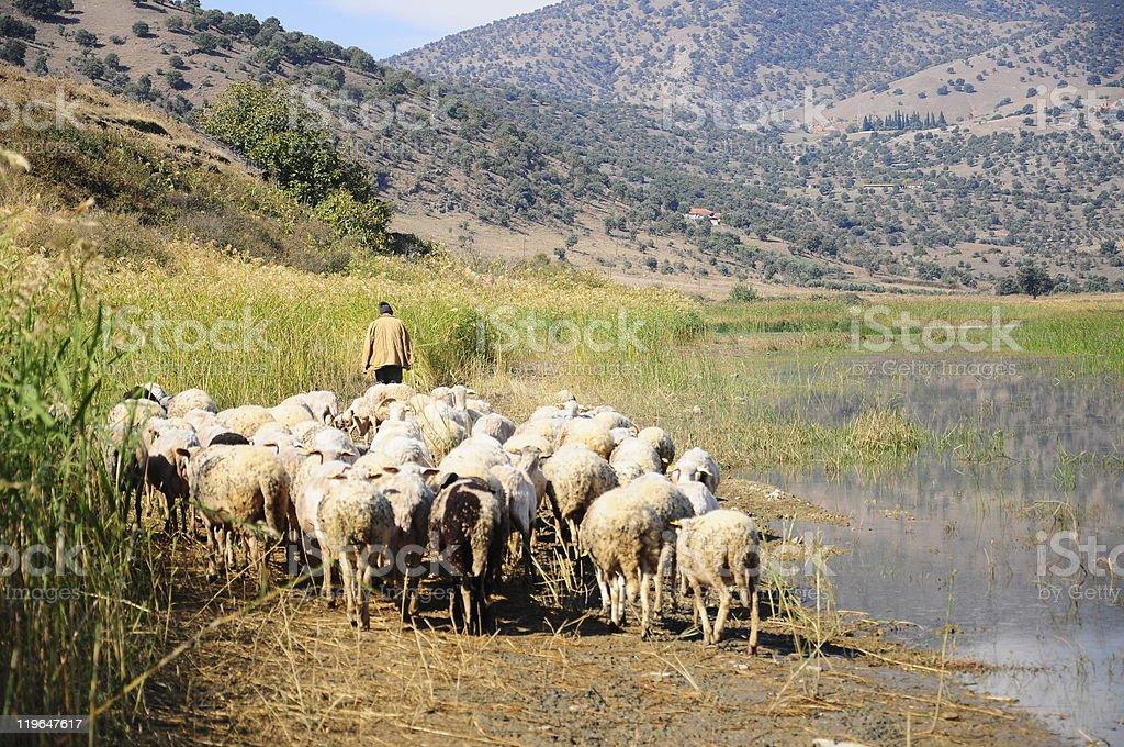 sheep by lake stock photo