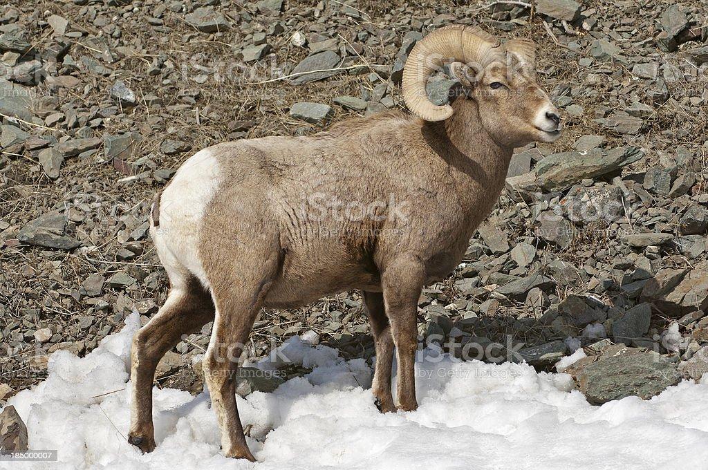 Sheep climbing the mountain royalty-free stock photo