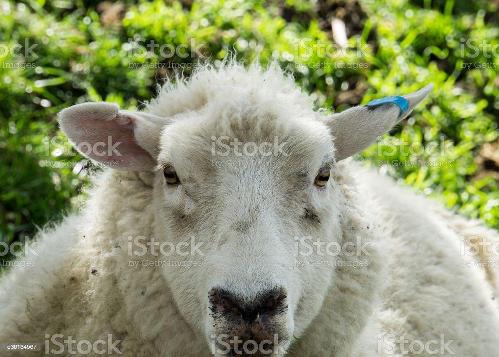 Sheep Close Face stock photo