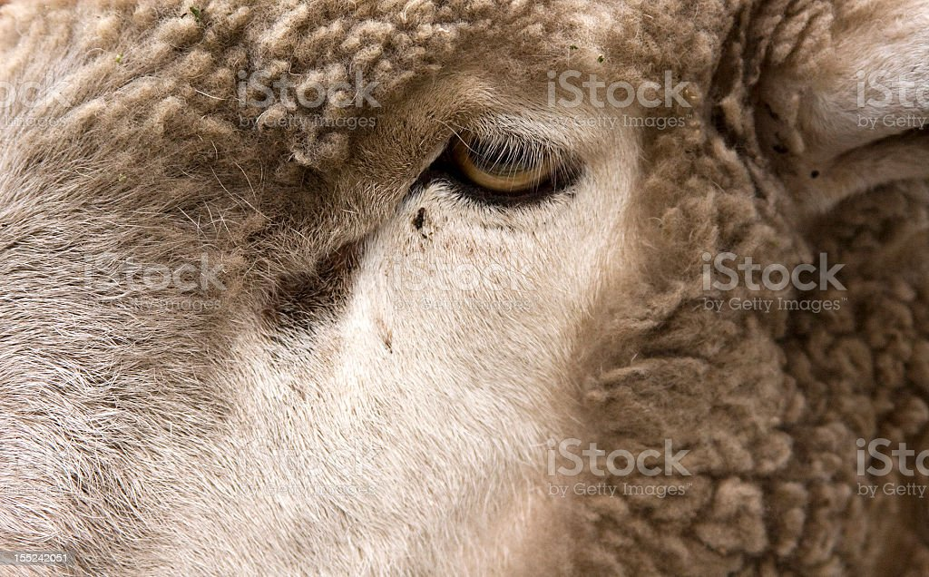 Sheep close up royalty-free stock photo