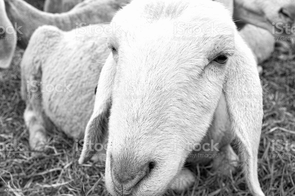 Sheep closeup. Black and white photo stock photo