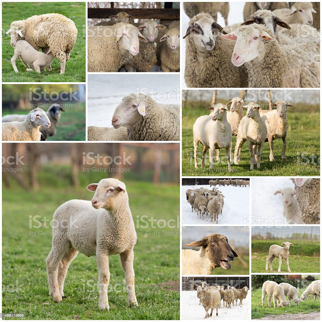 Sheep collage stock photo