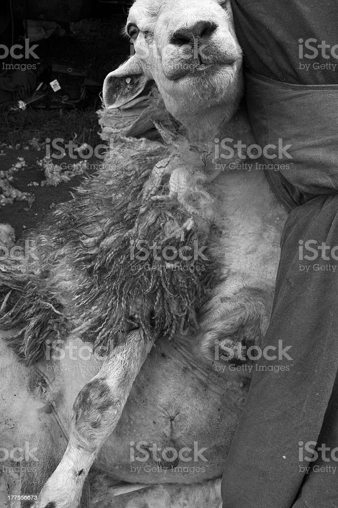 sheep cutting royalty-free stock photo