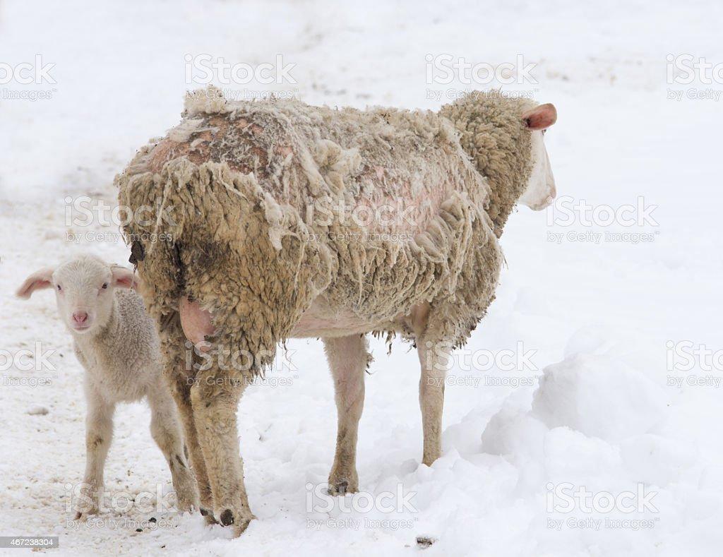 Sheep disease stock photo
