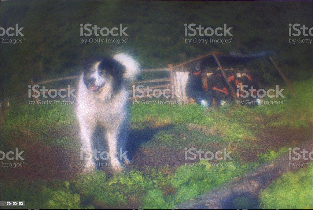 sheep dog royalty-free stock photo