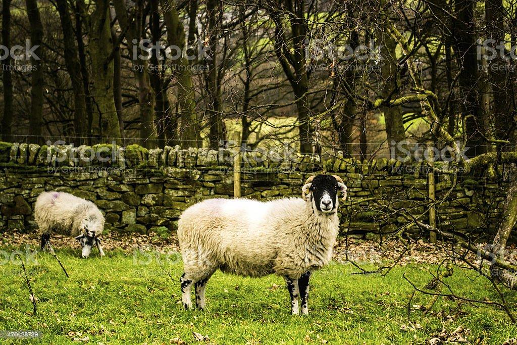 Sheep eating branch stock photo