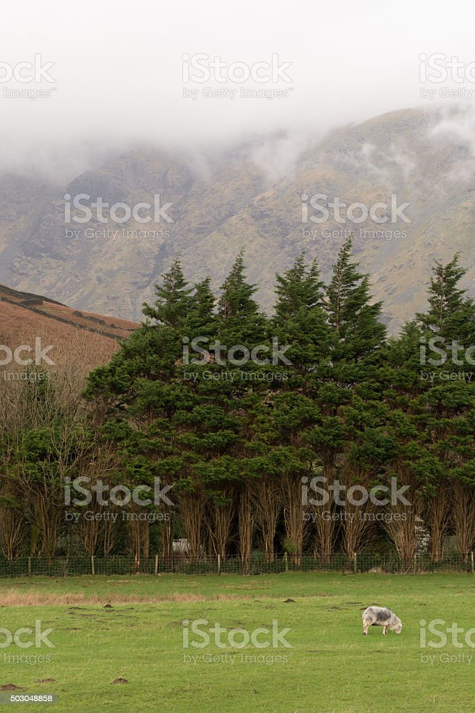 Sheep Eating Grass In Field With Cloudy Mountains In Background. stock photo