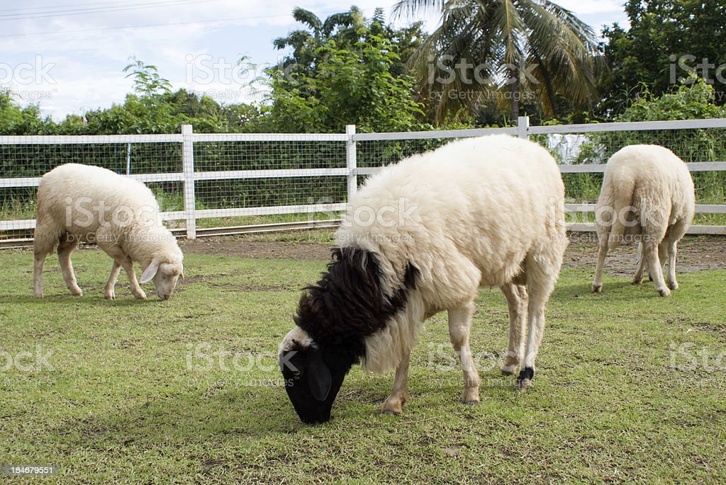 Sheep eating grass in the farm. royalty-free stock photo