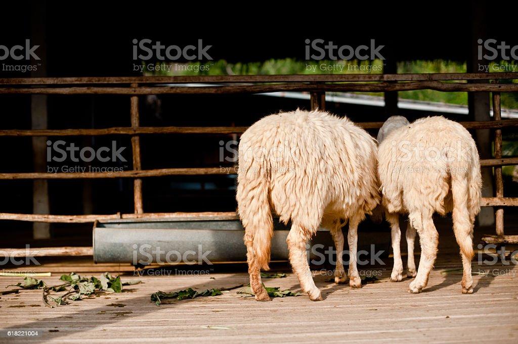 Owce jedzenia trawy w gospodarstwie zbiór zdjęć royalty-free