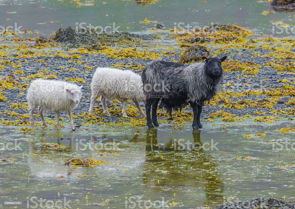 Sheep eating kelp in the Western Fjords of Iceland stock photo