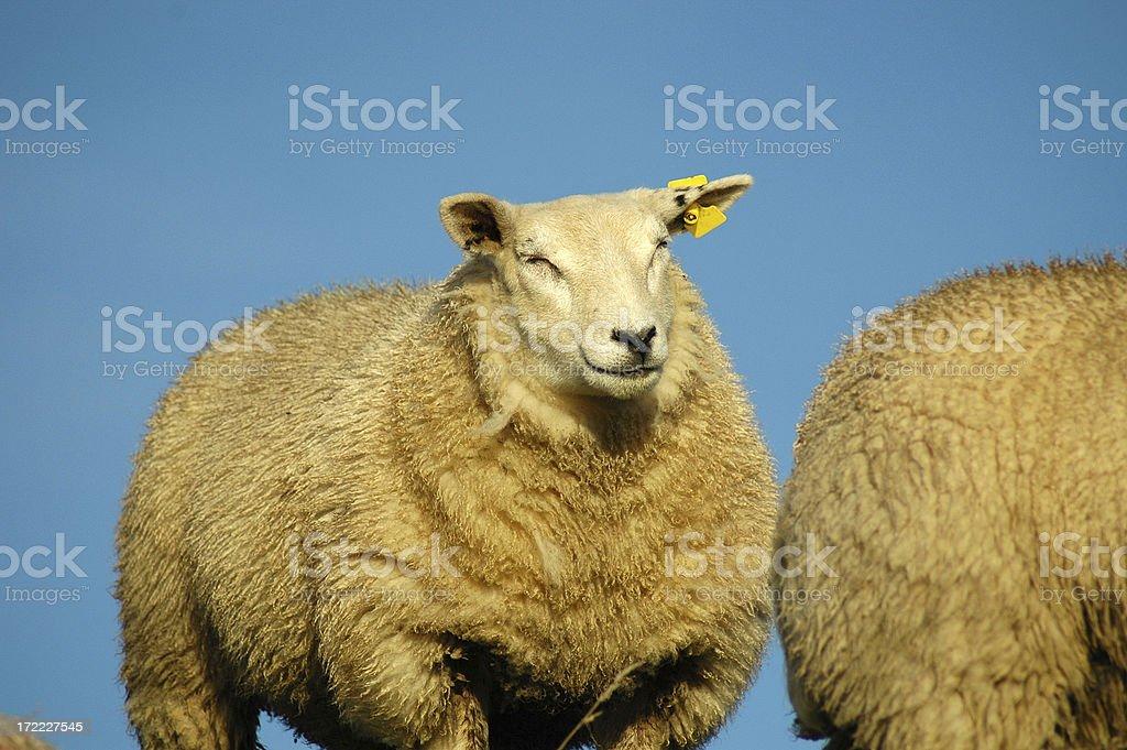 Sheep enjoying the sun stock photo