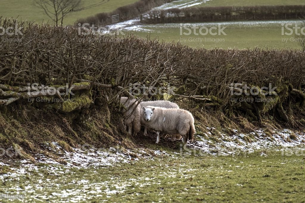 Sheep escaping through a hole in a hedge stock photo