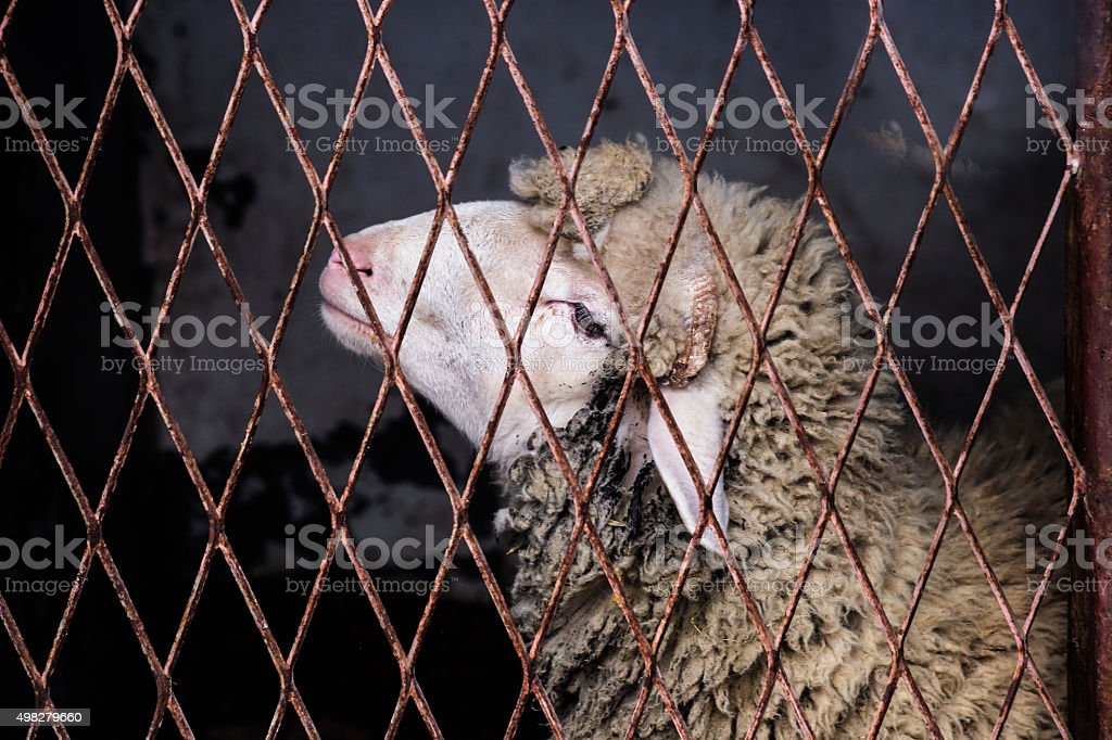 Sheep face behind rusty steel bars stock photo