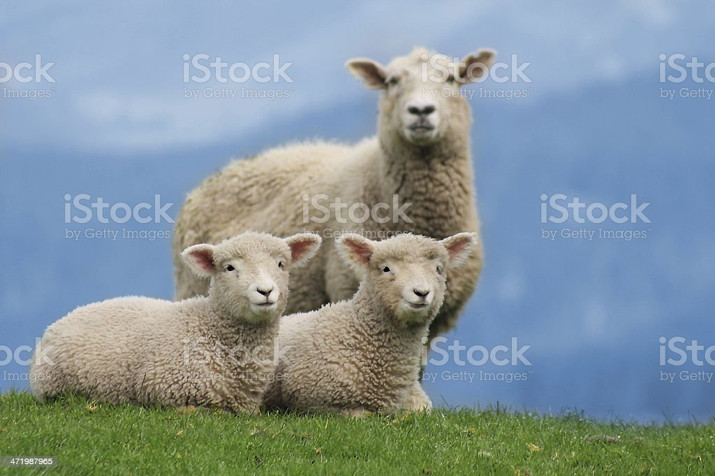 Sheep Family in New Zealand, with Young Lambs stock photo