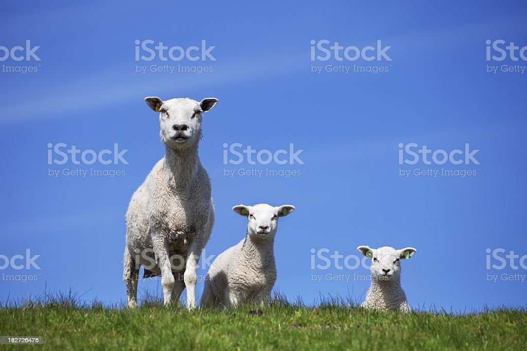 Sheep family on a grassy hill on a sunny day royalty-free stock photo