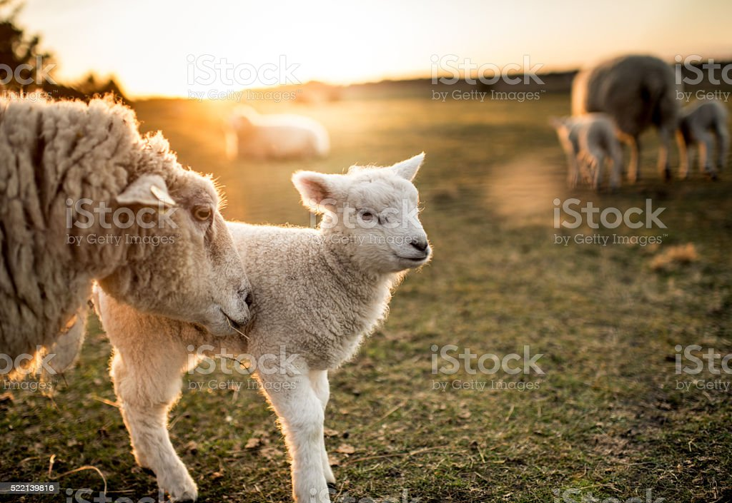 Sheep family royalty-free stock photo