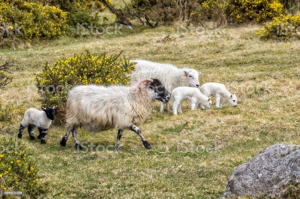 Sheep family. stock photo