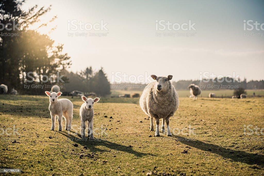 Sheep family stock photo