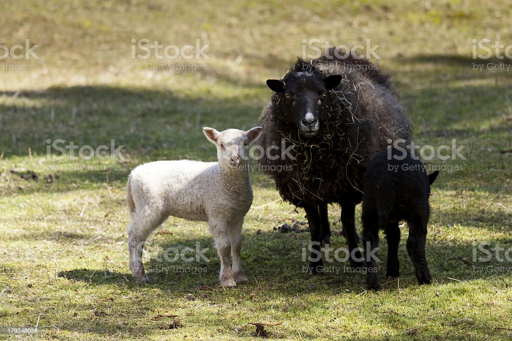 Sheep family standing in pasture royalty-free stock photo