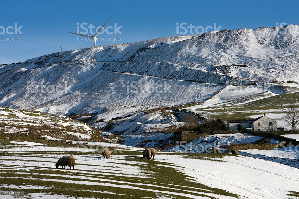 Sheep farm in the snow royalty-free stock photo