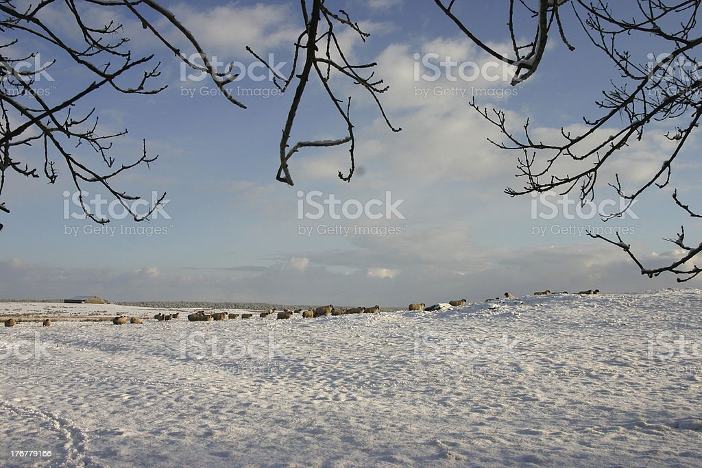 Sheep farm in the winter royalty-free stock photo