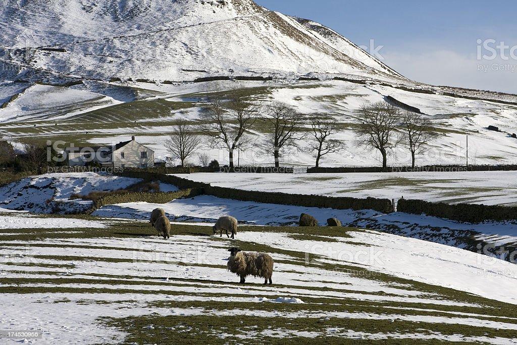 Sheep farm in winter royalty-free stock photo