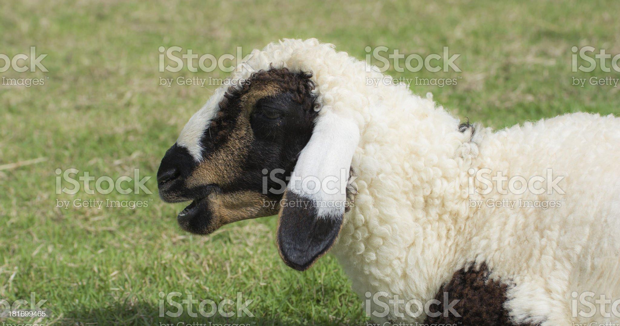 Sheep Farm royalty-free stock photo