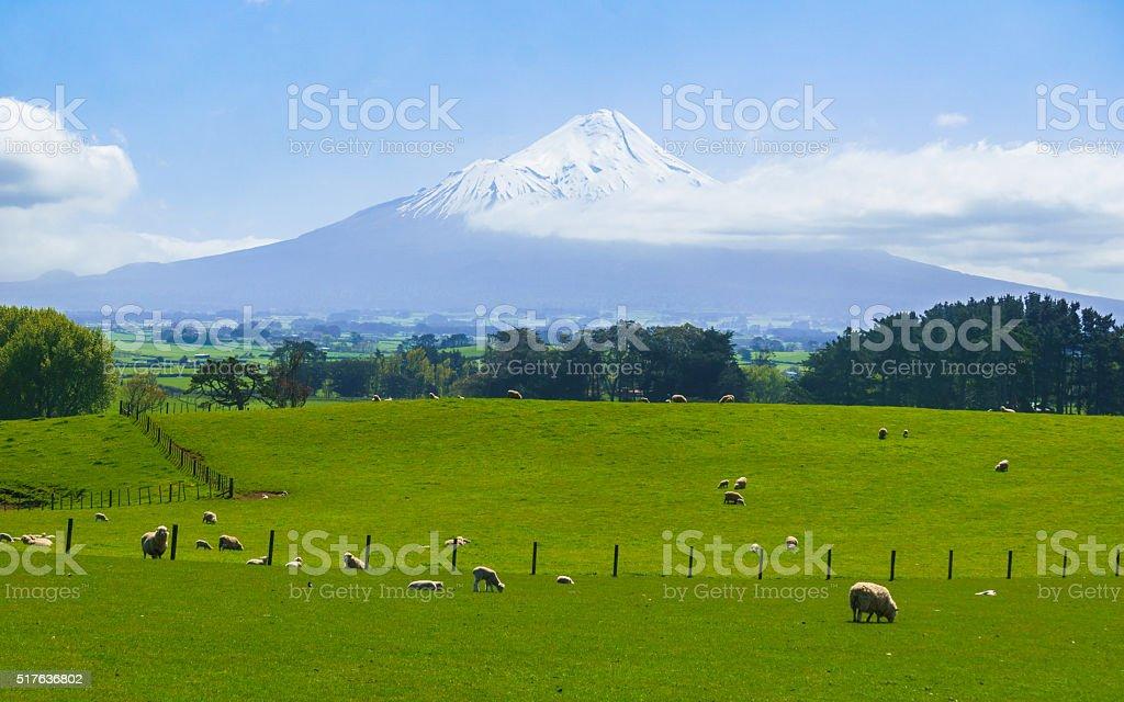 Sheep Farm with Mt. Taranaki in tha background stock photo