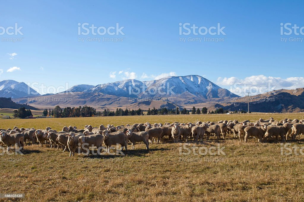 Sheep farmland in Canterbury region, New Zealand stock photo