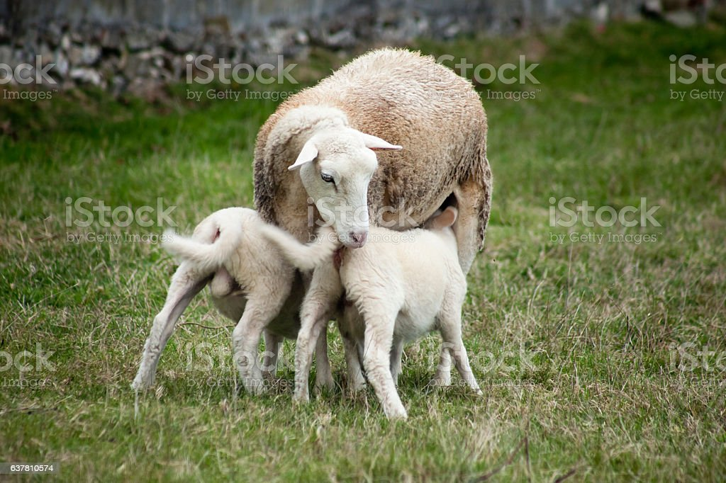 Sheep feeding her lambs. stock photo