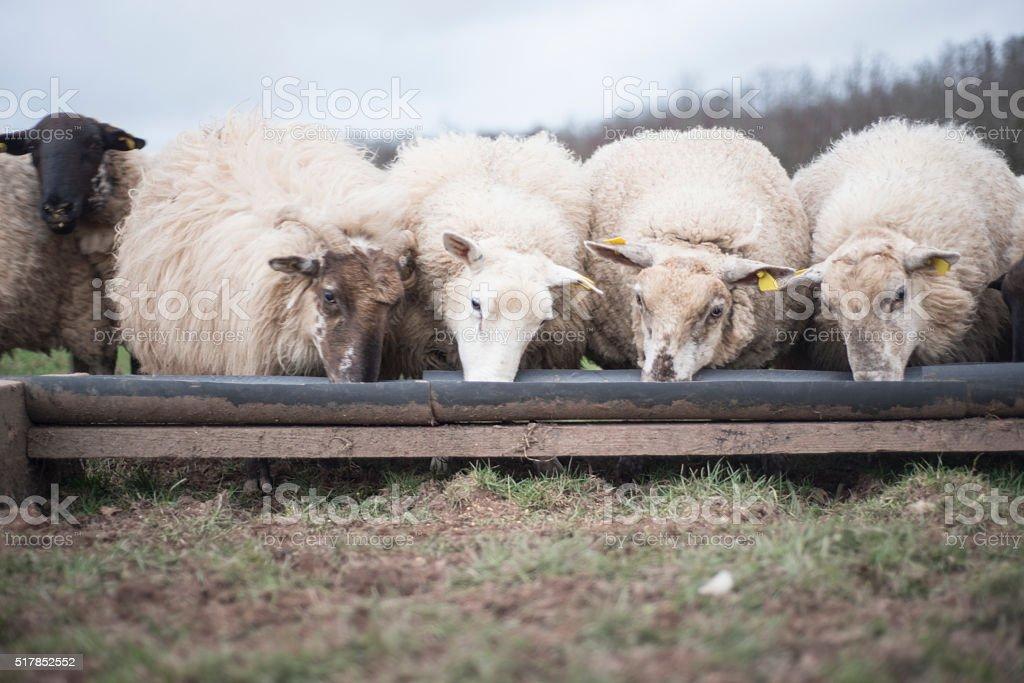 Sheep feeding in winter stock photo