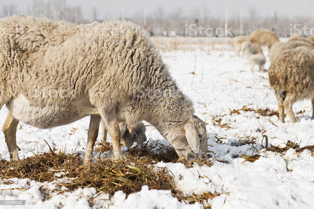 Sheep feeding in winter snow royalty-free stock photo