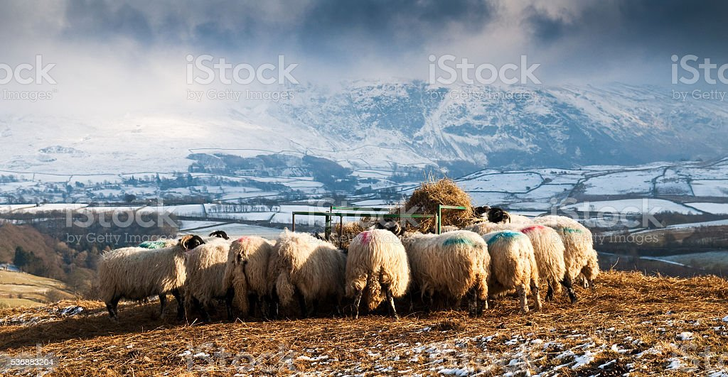 Sheep feeding stock photo